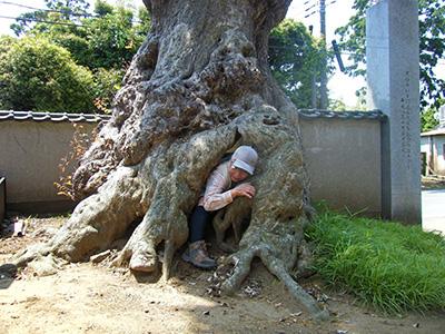 蔵福寺のシイの木