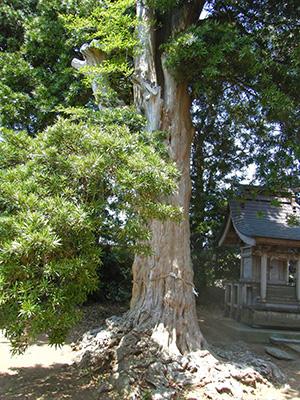 小野神社の槙