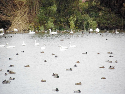 夏目の堰に白鳥が2羽初飛来