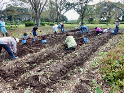 サツマイモ収穫体験