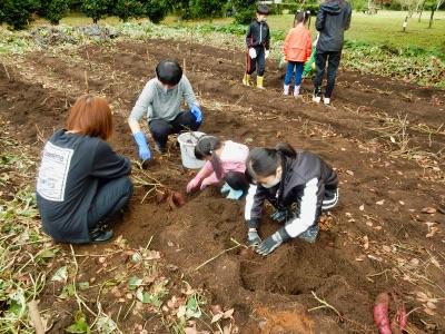 ~掘り掘り体験~サツマイモ